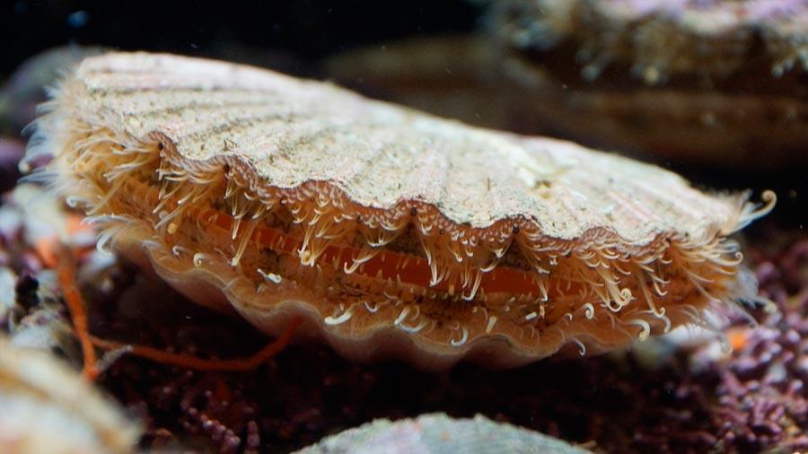 Resultado de imagen para Secuencian el genoma de un molusco en la búsqueda de un ancestro común del 99% de los animales actuales