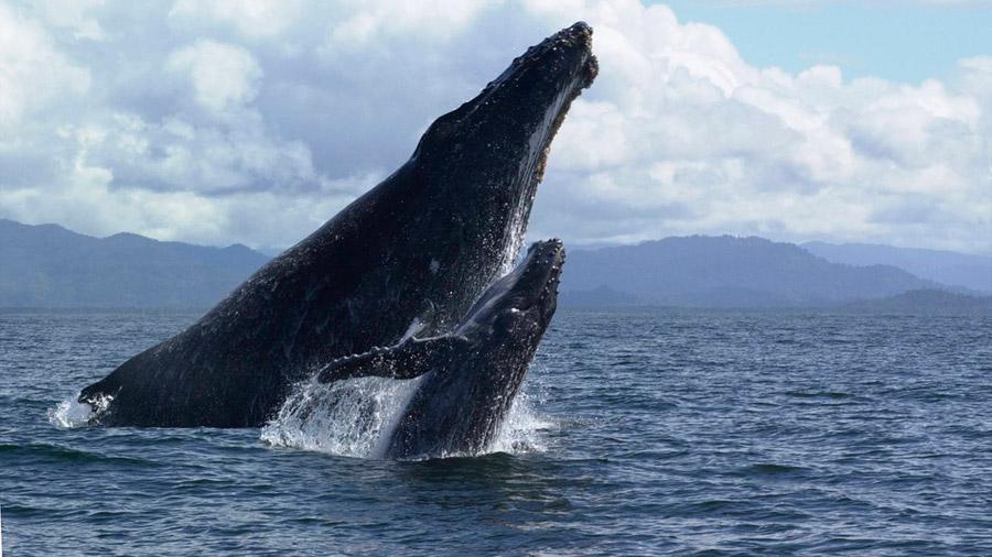 Bebés ballena 'susurran' para no ser cazadas por las orcas