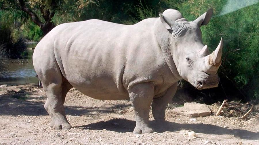 El último rinoceronte blanco del norte busca pareja en Tinder para salvar su especie