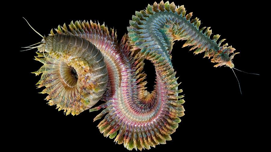 Un material inspirado en un gusano marino cambia según el entorno