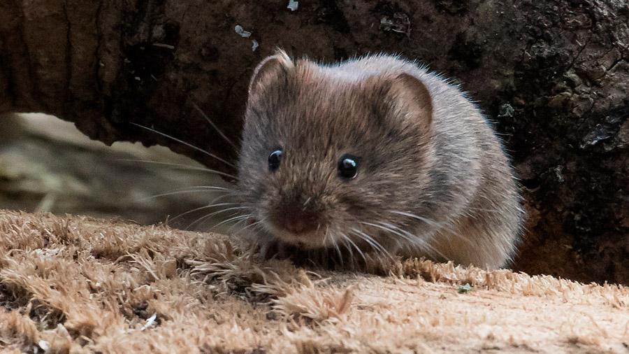 Biólogos peruanos hallan nueva especie de roedor endémico