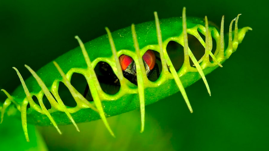 Cómo las plantas carnívoras activan su proceso de digestión