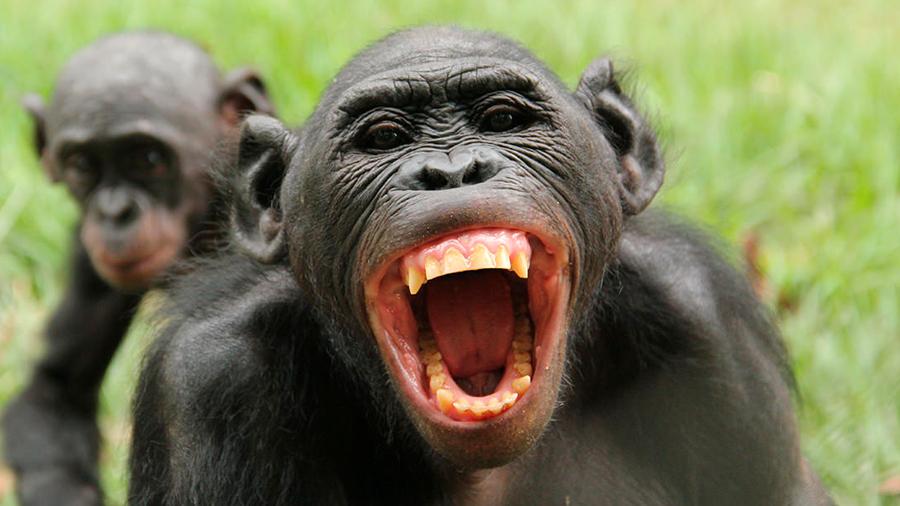 La predisposición bélica en los simios marca la relación entre sexos de chimpancés y bonobos