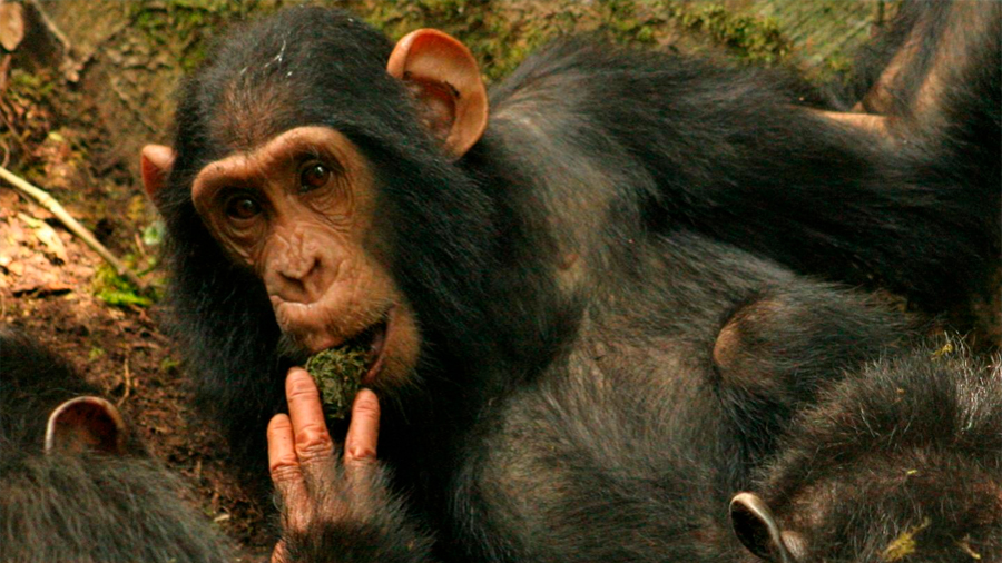 Científicos asisten al nacimiento de una nueva tradición cultural entre chimpancés
