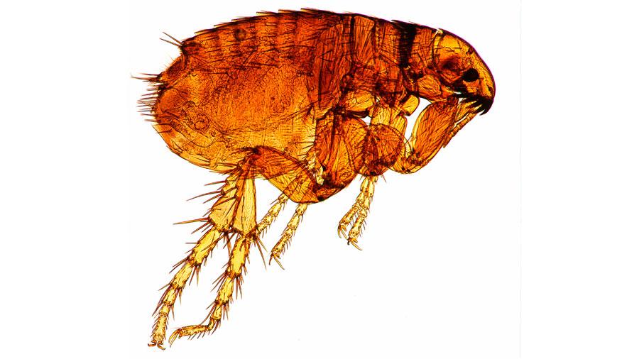 Las pulgas campeonas del mundo en salto de altura: brincan 100 veces su tamaño