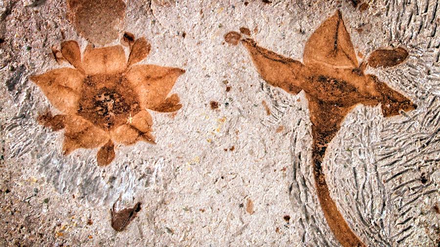 Primeras flores fósiles tras el asteroide que acabó con los dinosaurios