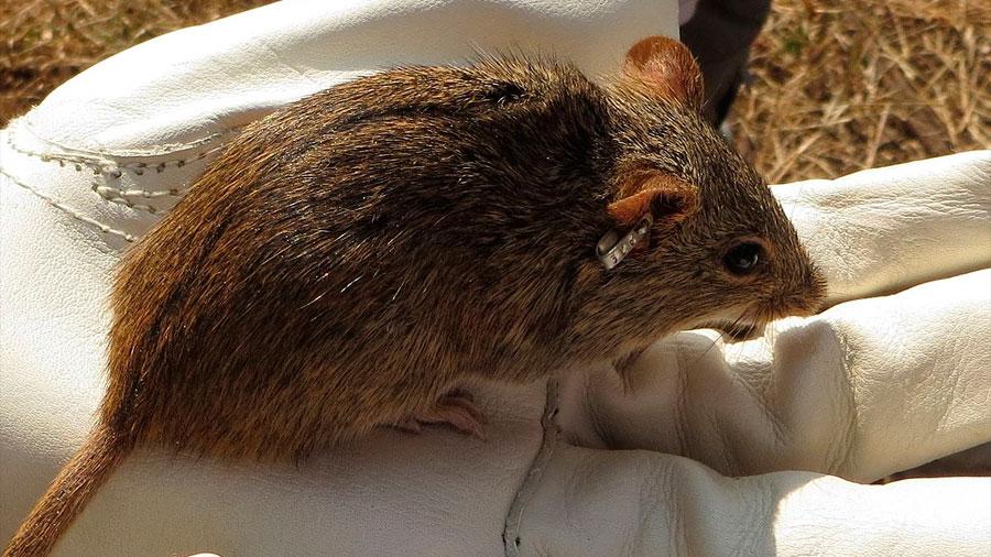 """Una rata japonesa con """"flexibilidad sexual"""" puede derivar en macho o hembra"""