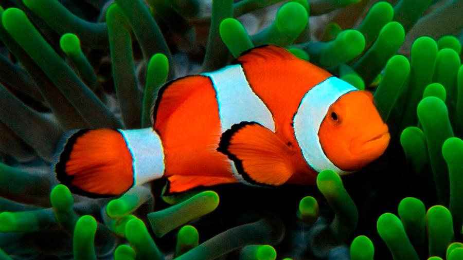 El pez payaso macho cambia de sexo cuando muere su hembra