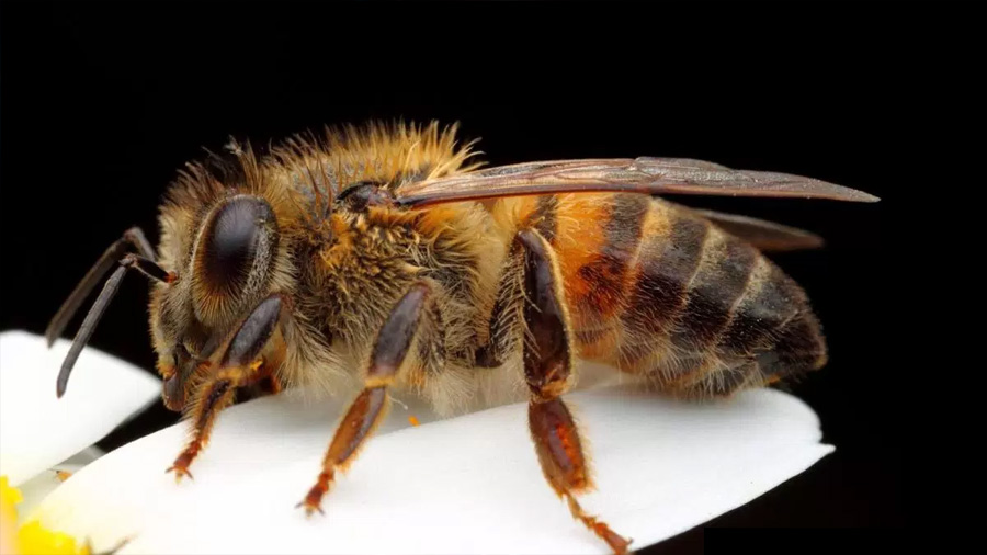 Descifran el enigma de las abejas asesinas
