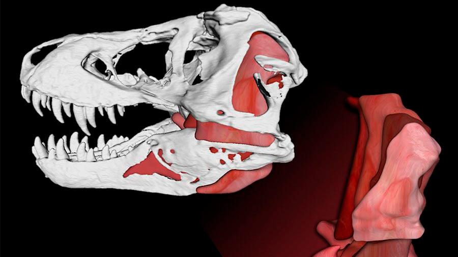 T.Rex ejercía una fuerza récord de 3,6 toneladas con sus fauces