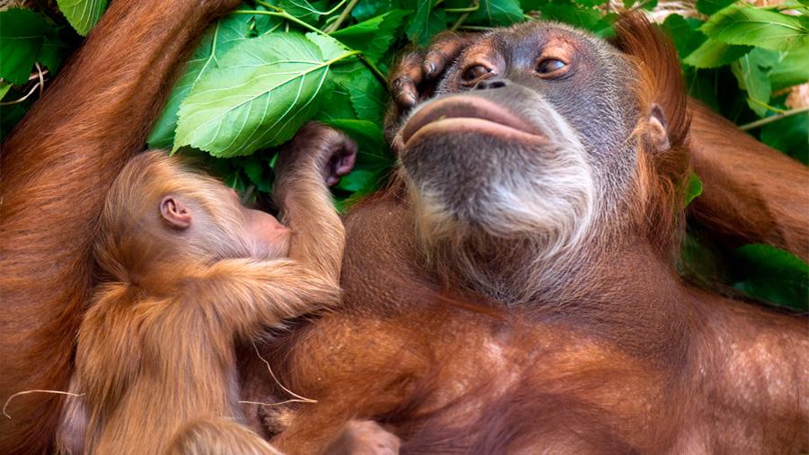 Los orangutanes amamantan hasta los ocho años