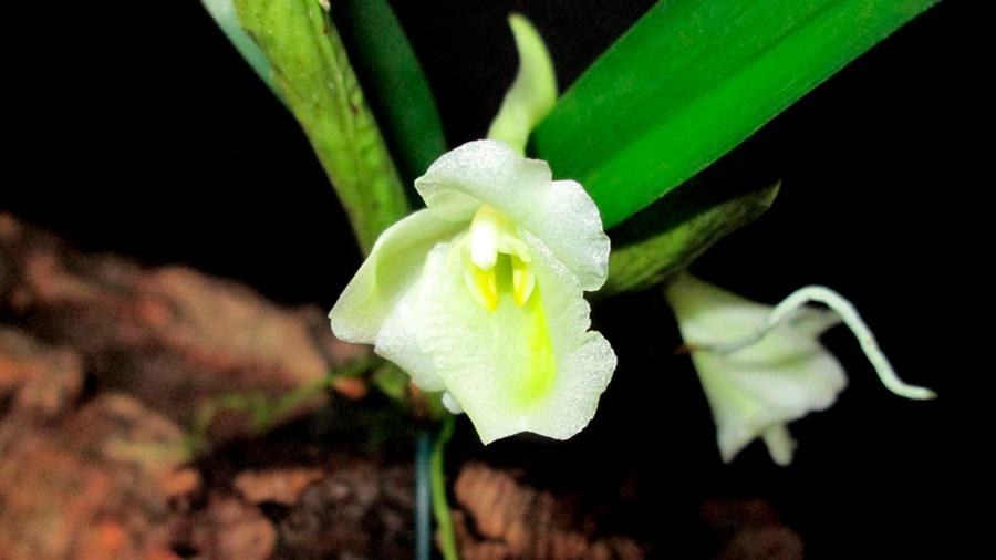 Orquídeas tropicales, estrategas en busca de más luz