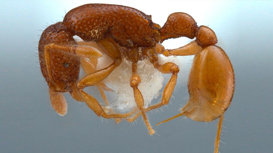 El primer nido de hormiga T.Rex revela que no hay reina