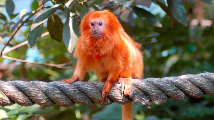 Aparece una especie de mono no vista en un siglo en Brasil