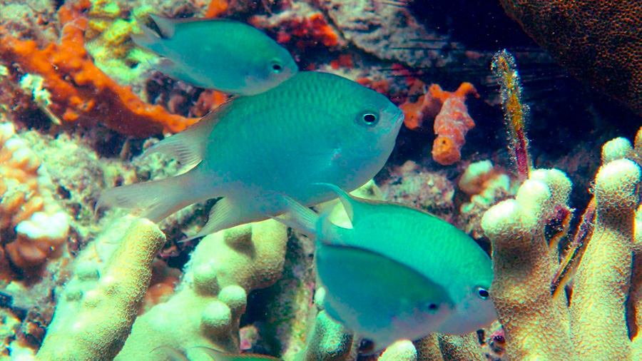 Descubren un nuevo pez de arrecife que cuida de sus crías