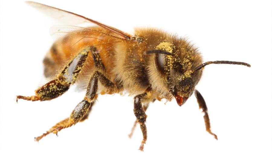 Las abejas, una inspiración para las tareas de limpieza