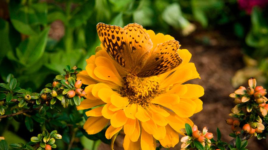 Las mariposas cambian de 'juego de imitación' en cuestión de metros
