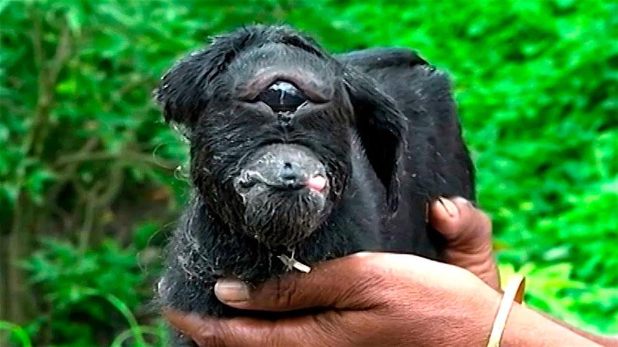 Extraño caso de ciclopía en la India: nace una cabra con un solo ojo