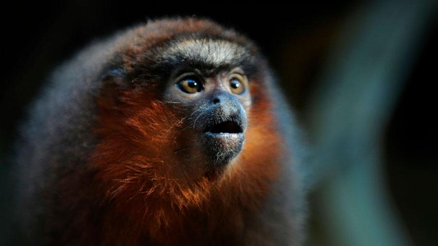 Los monos titíes aprenden a llamar como los bebés humanos a balbucear