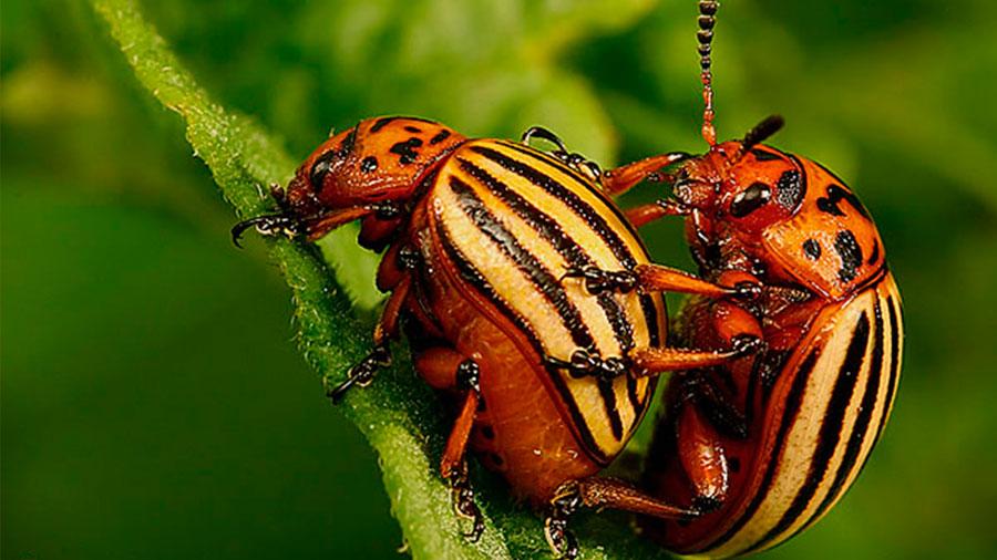 Los escarabajos son los animales que tiene el sexo más 'salvaje'