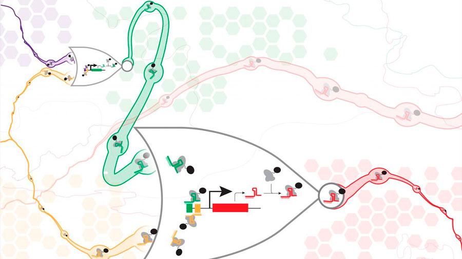 Científicos logran una serie de genes sintéticos que funcionan en las células vivas como puertas