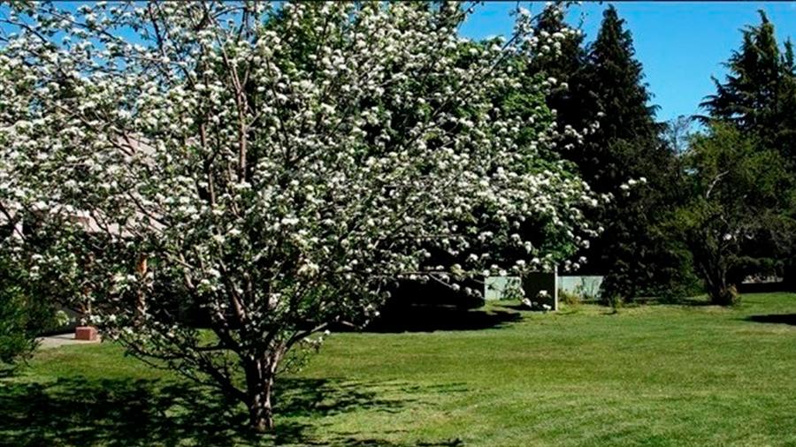 Un clon del árbol de Newton vive en Bariloche