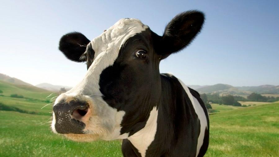 Se busca la vaca del futuro, con ADN adaptado al calentamiento global