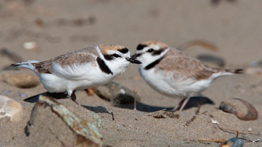 Las parejas de aves cooperan para resistir al cambio climático