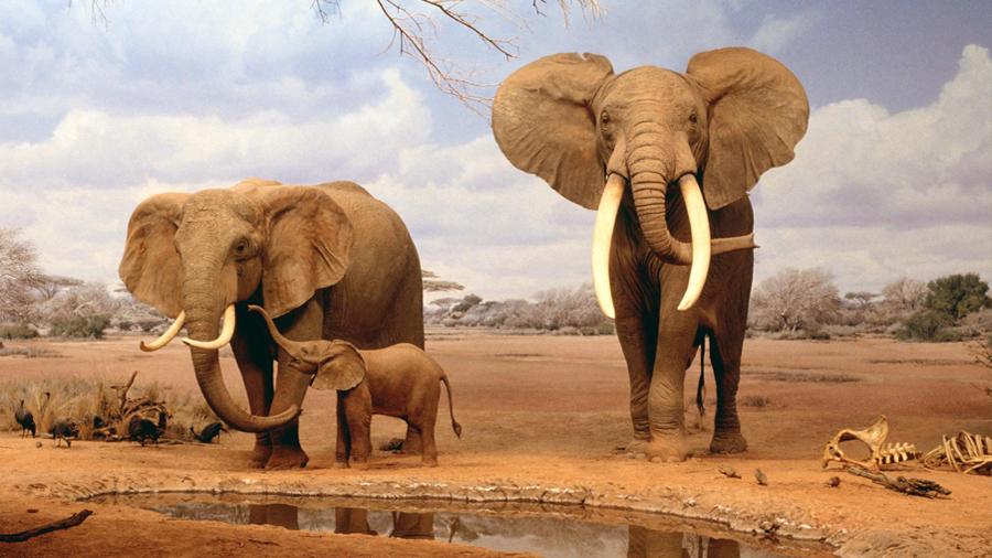 La paleogenómica certifica que hay dos especies de elefantes africanos