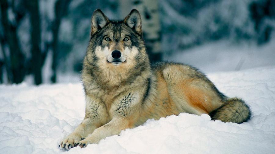 Lobos y perros reaccionan a la injusticia como los humanos