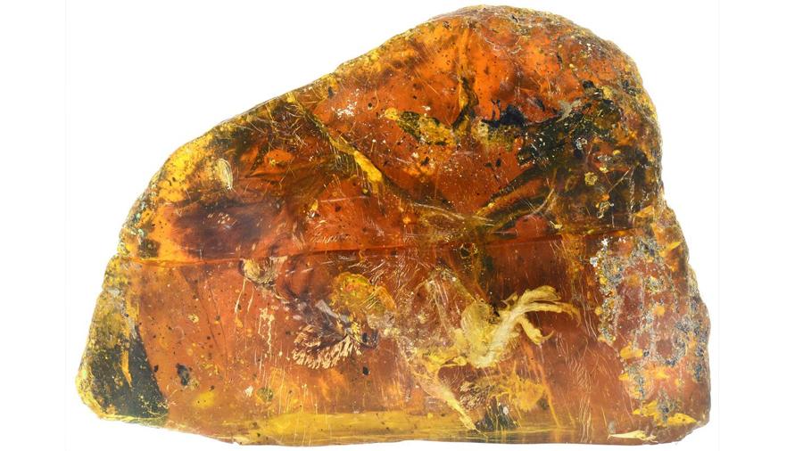 Este pájaro de 99 millones de años conservado en ámbar es sencillamente espectacular