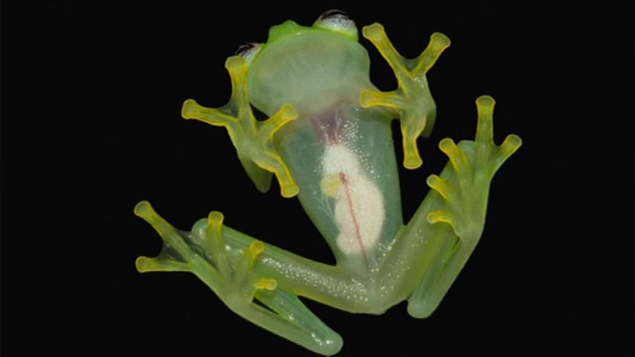Una rana de cristal en Ecuador tardó 20 años en ser reconocida