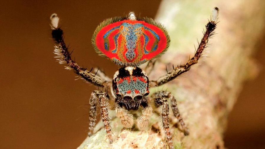 Las aterradoras e inofensivas arañas australianas