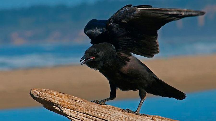 Los cuervos no solo reconocen rostros humanos, también te pueden guardar rencor si los engañas