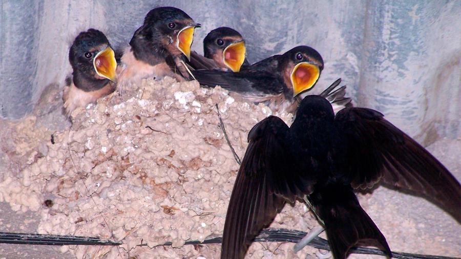 Las altas temperaturas pueden adelantar los saltos de pollitos de sus nidos
