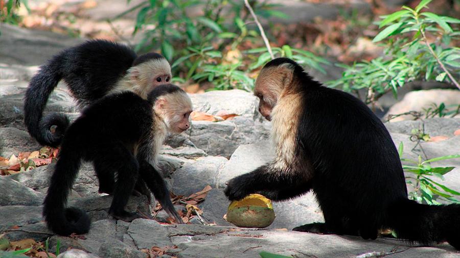 Los monos capuchinos aprenden motivados por una recompensa