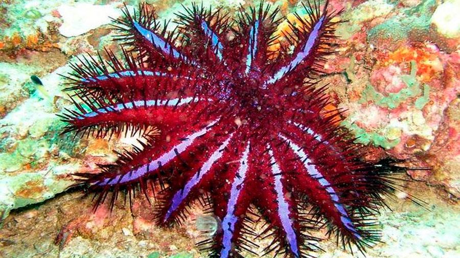 La 'estrella de mar demonio' que devora los corales