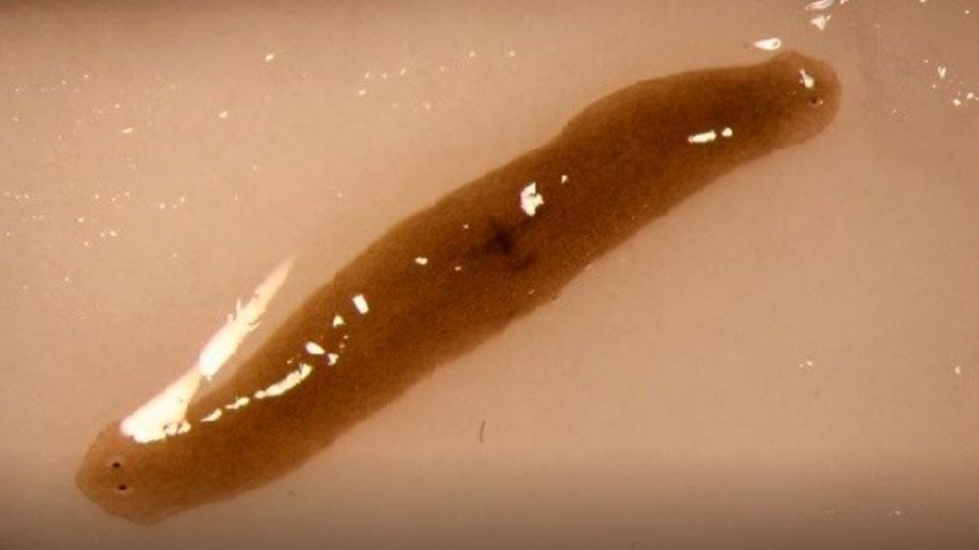 Un gusano amputado se regenera con dos cabezas tras viajar al espacio