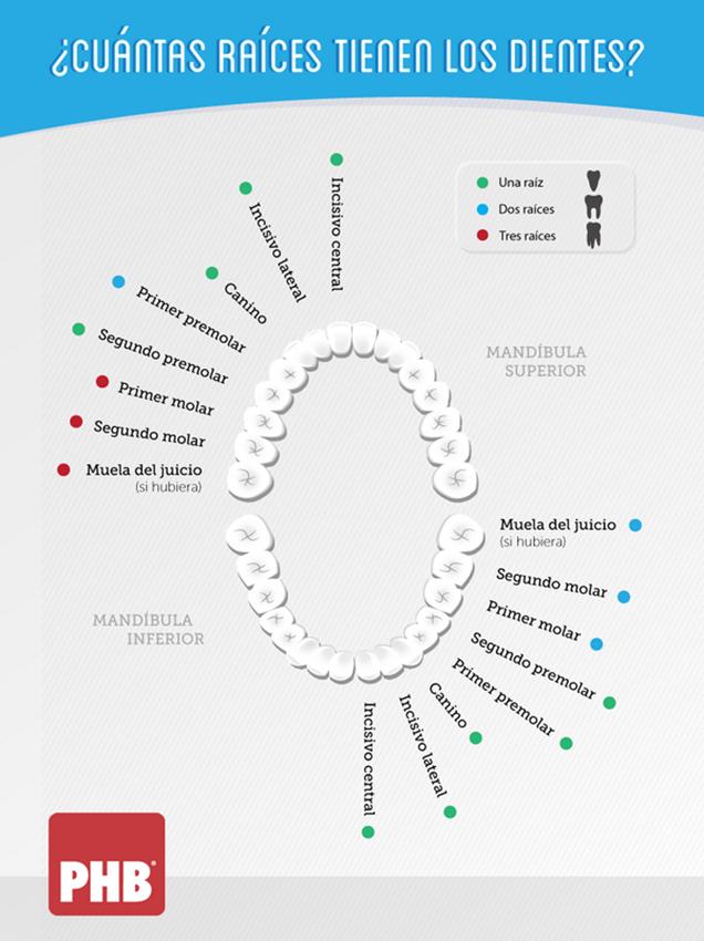 ¿Cuántas raíces tienen los dientes?