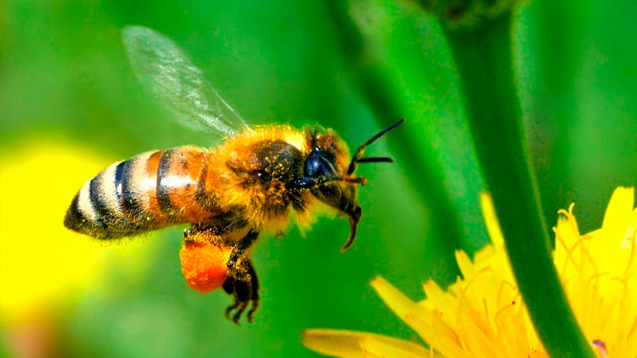 El SOS de las abejas ante el cambio climático