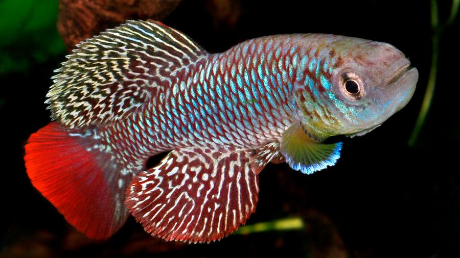 Los peces viejos viven más tiempo si comen las heces de los más jóvenes