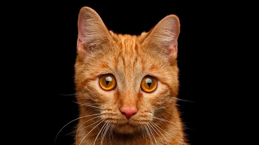 Análisis de restos fósiles de más de 200 gatos aclaran el camino de su domesticación