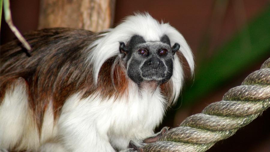 National Geographic premia a investigadora colombiana por ayudar a la conservación del mono tití cabeciblanco