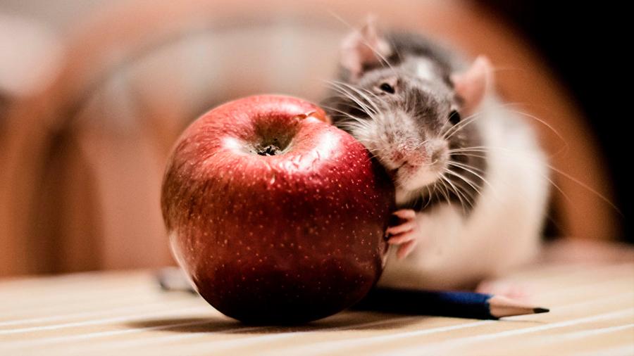 Científicos chinos logran restaurar la médula espinal en ratas