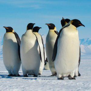 El deshielo de la Antártida acabaría con los pingüinos emperadores, que no podrían emigrar