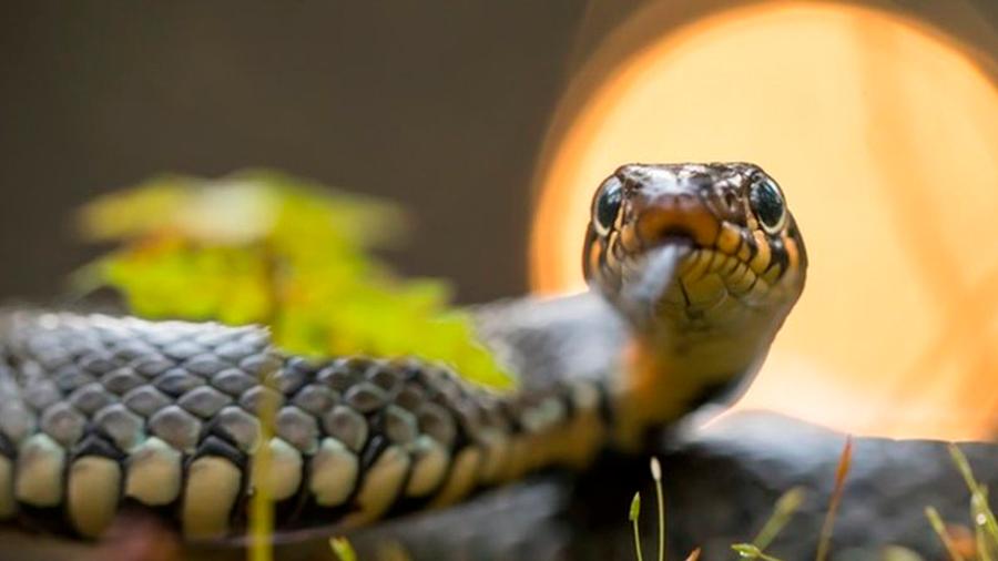 La hembra serpiente domina y muchas veces cuasi consume al macho, nuevos descubrimientos de su sexualidad