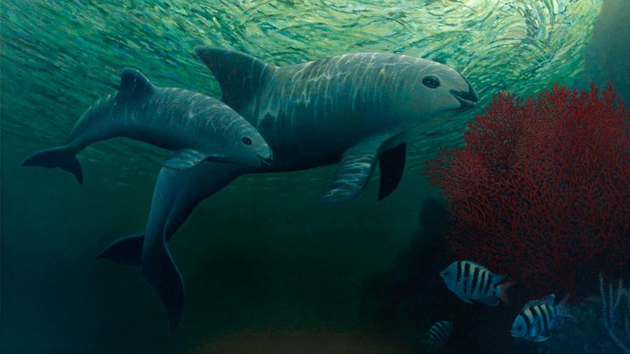 Delfines 'pastorearán' a vaquitas marinas a un refugio
