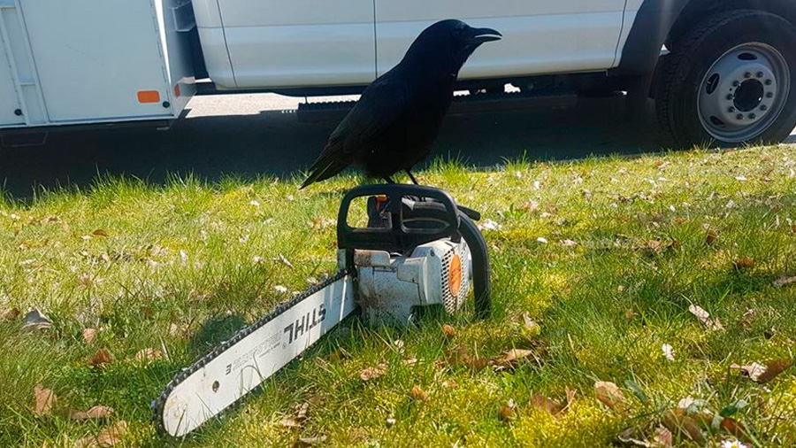 Canuck, el agresivo cuervo que aterroriza a un barrio en Canadá
