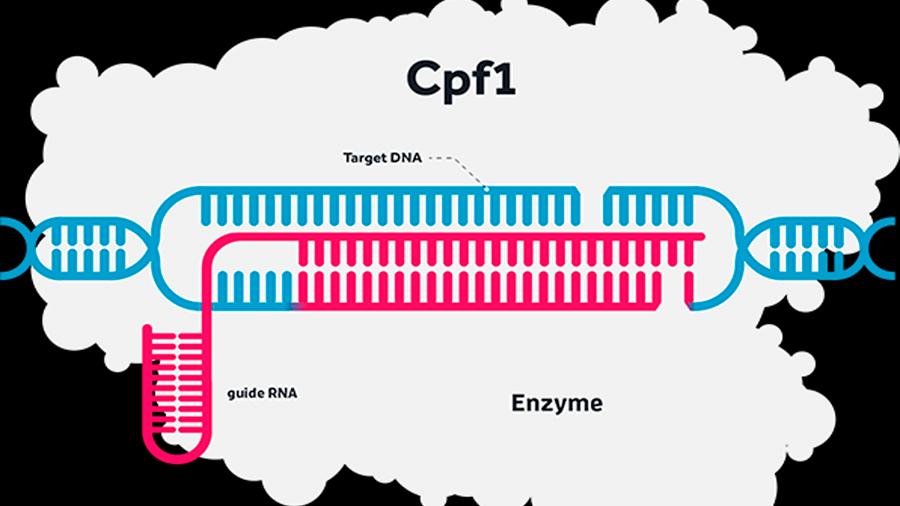 Un nuevo bisturí molecular actúa como un GPS para mejorar la edición genética