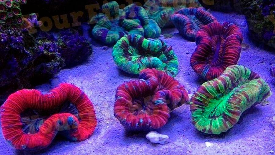El secreto de la fluorescencia de los corales de profundidad